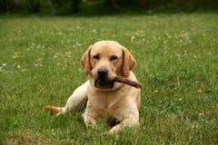 Labrador in de weide Stock Afbeelding