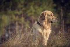 Labrador dehors Photo libre de droits