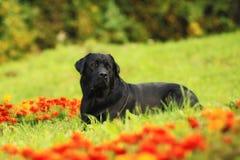 Labrador in den Blumen Stockfoto