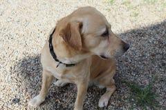 Labrador in der Sonne im Garten lizenzfreie stockfotos