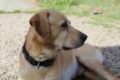 Labrador in der Sonne im Garten stockfotos