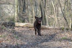 Labrador di salto Fotografia Stock Libera da Diritti