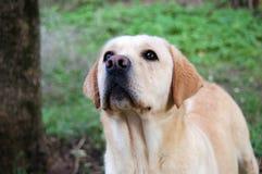 Labrador die buiten spelen Royalty-vrije Stock Fotografie