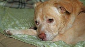 Labrador die op het bed liggen stock footage