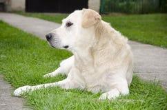 Labrador die op zijn eigenaar wachten Stock Foto