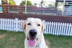 Labrador die retriver in de tuin glimlachen stock foto