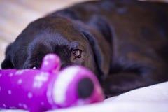 Labrador die uit van achter Haar Stuk speelgoed turen Stock Foto