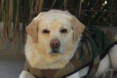 Labrador in diepe gedachte over zijn toekomst Royalty-vrije Stock Afbeelding