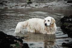 Labrador in dirty river Royalty Free Stock Photo