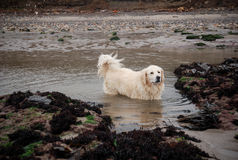 Labrador in dirty water Royalty Free Stock Image