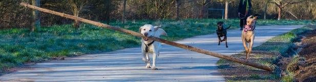 Labrador divertido fotos de archivo