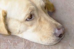 Labrador dog's head, light brown dog. Labrador dog's head, closed up, light brown dog Stock Images