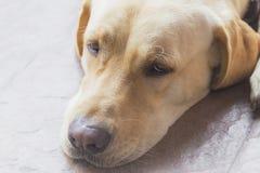 Labrador dog's head, light brown dog. Labrador dog's head, closed up, light brown dog Stock Image