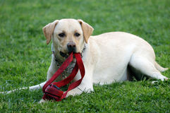 Labrador dog. Labrodor dog female on green grass Royalty Free Stock Images