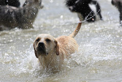 Labrador dog. The Labrador dog is running arcoss the river Stock Photo