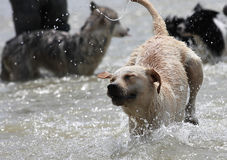 Labrador dog. The Labrador dog is running in the river.Playing with many dogs Royalty Free Stock Photo