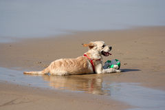 Labrador dog. In the beach Royalty Free Stock Image