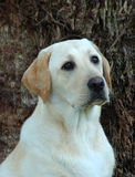 Labrador dog Royalty Free Stock Images