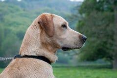 Labrador dog. A profile photo of a young labrador dog outdoors Stock Photo