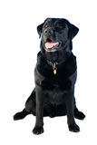 Labrador dog Stock Image