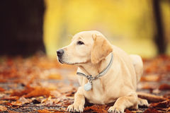 Labrador dog. In Autumn Season Stock Photo