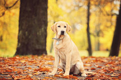 Labrador dog. In Autumn Season Royalty Free Stock Photo