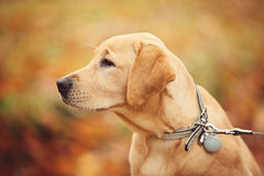 Labrador dog. In Autumn Season Royalty Free Stock Photography