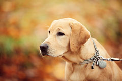 Labrador dog. In Autumn Season Royalty Free Stock Photos