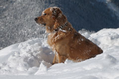 Labrador dog. In the snow Royalty Free Stock Photography