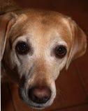 Labrador Dog. Face stock photo