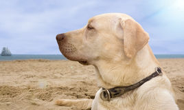Labrador dog. Profile of a labrador dog, sandy beach in the background Stock Image