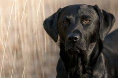Labrador Stock Photos