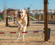 Dog in an agility competition. Slalom, course royalty free stock image