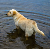 Labrador dog animal. In the water Stock Images