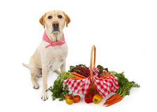Labrador Dog With Basket of Vegetables. A cute Yellow Labrador Retriever dog wearing a red and white checkered scarf sitting next to a basket full of fresh royalty free stock images