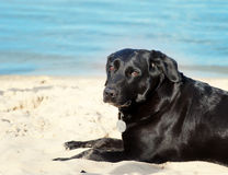 Labrador dog on the beach Stock Images