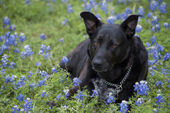 Labrador dog on a Bluebonnet Flowers. Labrador German Shepperd dog and bluebonnet flowers, lupinus, flower that represents the Texas State royalty free stock photography