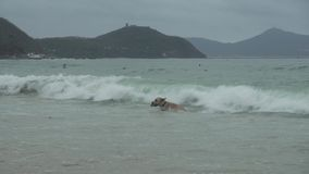 Labrador dog boldly bathes in large sea waves stock footage video stock video footage