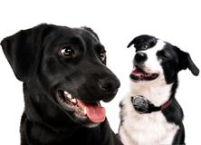 Labrador dog and border collie Stock Photo