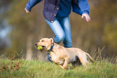 Labrador dog chased by owner Stock Photo