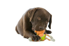 Labrador dog chewing toy. Closeup of chocolate Labrador Retriever dog chewing colorful toy, isolated on white background Royalty Free Stock Images