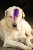 Labrador dog Royalty Free Stock Photography