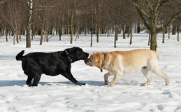 Labrador Dog contest at winter Royalty Free Stock Photography