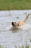 Labrador dog cross the river. Labrador dog is running in the river and splash the water Royalty Free Stock Photo