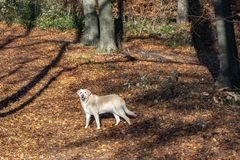 Labrador dog enjoys the walk in the autumn colored forest royalty free stock photo