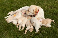 Labrador dog feeding her adorable puppies wearing distinctive colorful scarves royalty free stock photography