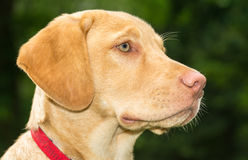 Labrador Dog Stock Photography