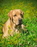 Labrador dog on the grass in the field royalty free stock photos