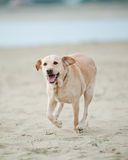 Labrador dog Royalty Free Stock Photography