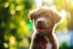 Labrador dog head shot with bokeh Stock Photo